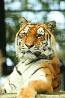 Free Tiger Royalty Free Stock Photography - 6082967