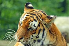 Free Tiger Stock Photography - 6082972