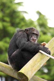 Free Chimp Stock Photos - 6083123