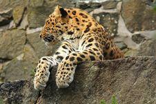 Free Amur Leopard Stock Image - 6083291