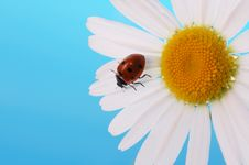 Free Ladybird Royalty Free Stock Images - 6083399