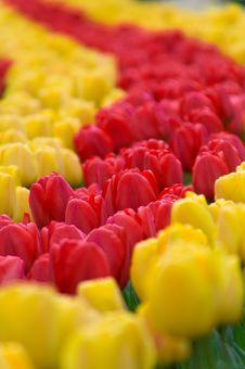 Free Tulips Royalty Free Stock Photo - 6084355