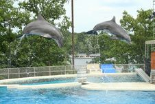 Free Two Dolphins Jumping Through The Air Royalty Free Stock Photos - 6084588