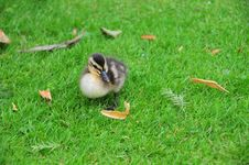 Free The Cuddly Duckling Stock Photos - 6084843