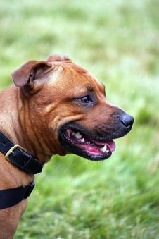 Free Staffordshire Bull Terrier Stock Images - 6085214