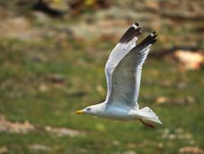 Free Seagull Royalty Free Stock Image - 6085496