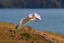 Free Seagull Stock Image - 6085531