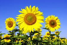Free Sunflowers Royalty Free Stock Images - 6086109