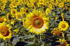 Free Sunflowers Royalty Free Stock Images - 6086139