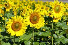 Free Sunflowers Stock Photo - 6086150