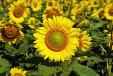 Free Sunflowers Royalty Free Stock Image - 6086156