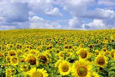 Free Sunflowers Stock Photo - 6086430