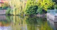 Free Goose Crossing Lake At Dawn Stock Photos - 6086713