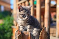 Grey Kitten Royalty Free Stock Images