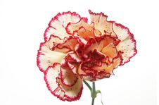 Free Carnation Stock Photo - 6086980