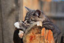 Grey Kitten Stock Image
