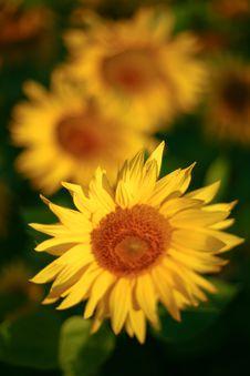 Free Yellow Sunflowers Stock Image - 6088151