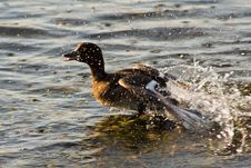 Free Duck Escape Royalty Free Stock Images - 6088389
