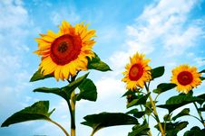 Free Bright Sunflowers Stock Image - 6088431
