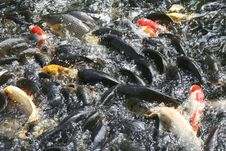 Free Koi Fishes In The Pond Stock Photos - 6088703