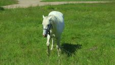 Free White Horse Standing On A Meadow Stock Photography - 6088742