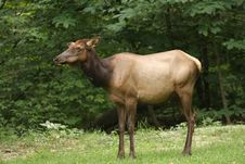 Cow Elk Stock Photography