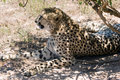 Free Cheetah In The Shadow Stock Photo - 6093640