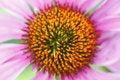 Free Purple Coneflower (Echinacea Sp.) Stock Image - 6094101