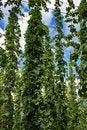 Free Hops Farm 10 Stock Photo - 6095550