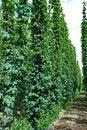 Free Hops Farm 12 Stock Photo - 6095680