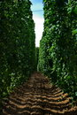 Free Hops Farm 17 Royalty Free Stock Images - 6095919