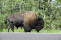 Free American Bison / Buffalo Stock Images - 6097934