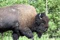 Free American Bison / Buffalo Royalty Free Stock Photo - 6097945