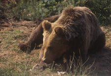Free European Brown Bear Stock Image - 6090431