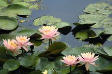 Free Lily Stock Photography - 6090642