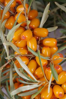 Free Sea-buckthorn Berries Royalty Free Stock Photo - 6090675