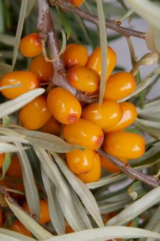 Free Sea-buckthorn Berries Stock Photo - 6090690