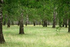 Free Birch Forest Stock Image - 6091161