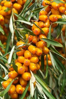 Free Sea-buckthorn Berries Stock Photos - 6091213