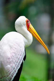 Free Yellow Billed Stork 2 Royalty Free Stock Image - 6091316