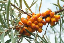 Free Sea-buckthorn Berries Royalty Free Stock Images - 6091379