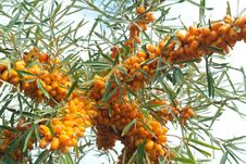 Free Sea-buckthorn Berries Stock Photos - 6091393