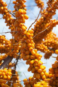 Free Sea-buckthorn Berries Royalty Free Stock Images - 6091409