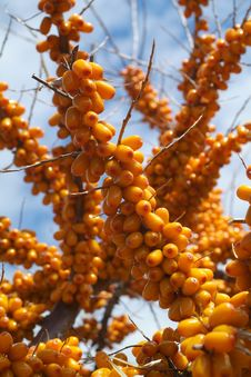 Free Sea-buckthorn Berries Royalty Free Stock Image - 6091426
