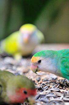 Free Indian Ring Necked Parakeet Series 4 Royalty Free Stock Photos - 6091478