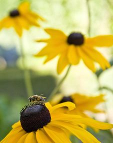 Free Close-up Bee On Flower Stock Image - 6091531