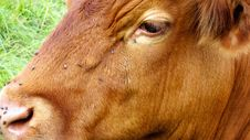 Free Cow With Flies Stock Photo - 6091630