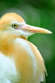 Free Cattle Egret 2 Stock Image - 6091651