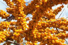 Free Sea-buckthorn Berries Stock Photography - 6091662