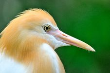 Free Cattle Egret 3 Stock Images - 6091684